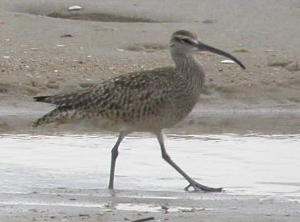 Whimbrel_Rev_A