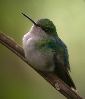 Emerald-belliedWoodnymph002