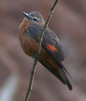 Cliff Flycatcher