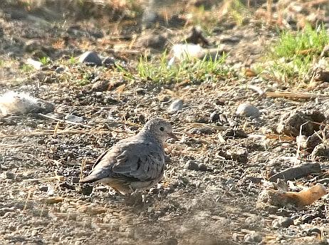 Common Ground Dove 1