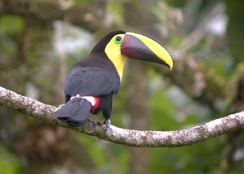 Chestnut-mandibled_Toucan006