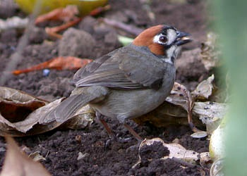 Prevost's Ground-Sparrow
