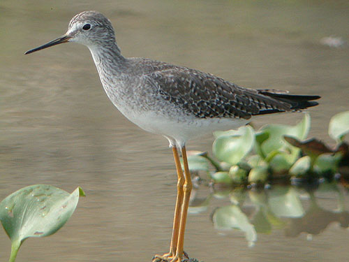 Lesser_Yellowlegs_Chone