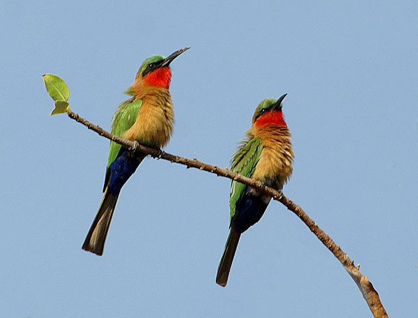 Red-throated Bee-eater (Gambia)