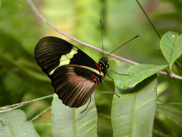Heliconiid2