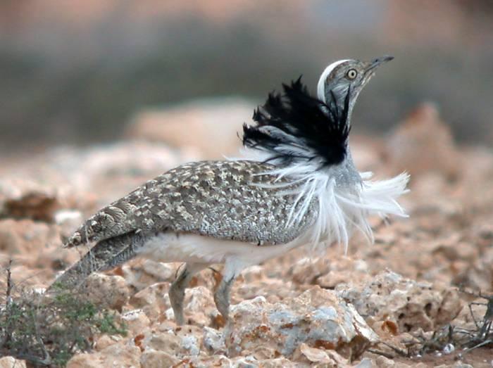 http://surfbirds.com/albums/data/597/medium/HOUBARA_BUSTARD_Chlamydotis_undulata_feuertaventurae.jpg