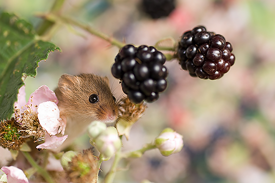 Harvest-mouse_000000519_