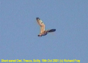 bird picture Short-eared Owl