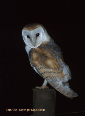 bird picture Barn Owl