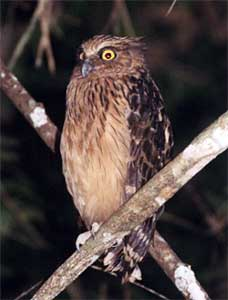 bird picture buffy fish owl