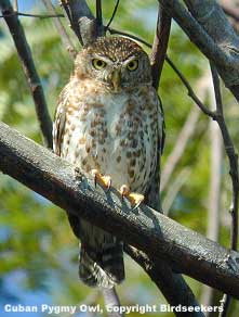 bird picture Cuban Pygmy Owl