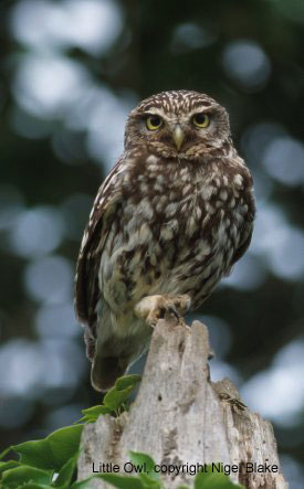 bird picture Little Owl