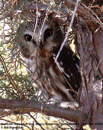 bird picture Northern Saw-whet Owl