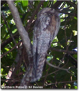 bird picture Northern Potoo