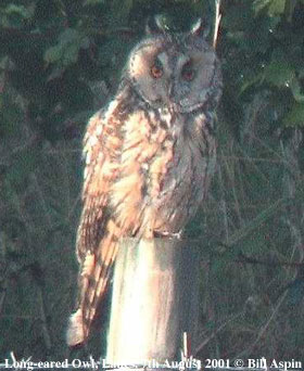 bird picture Long-eared Owl