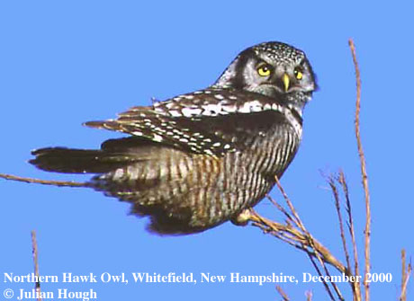 bird picture Hawk Owl
