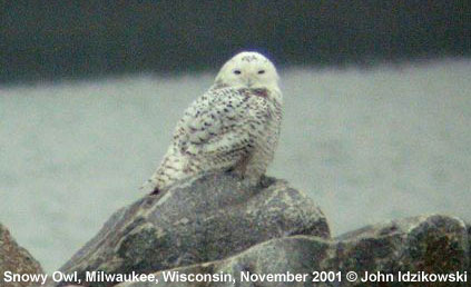 bird picture Snowy Owl