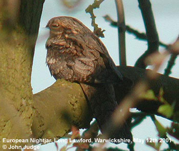 bird picture European Nightjar