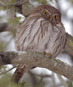 bird picture Ferruginous Pygmy Owl