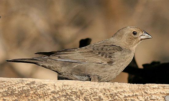 Backyard Bird Identification Blackbirds Cardinal