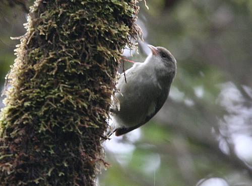 Akikiki or Kauai